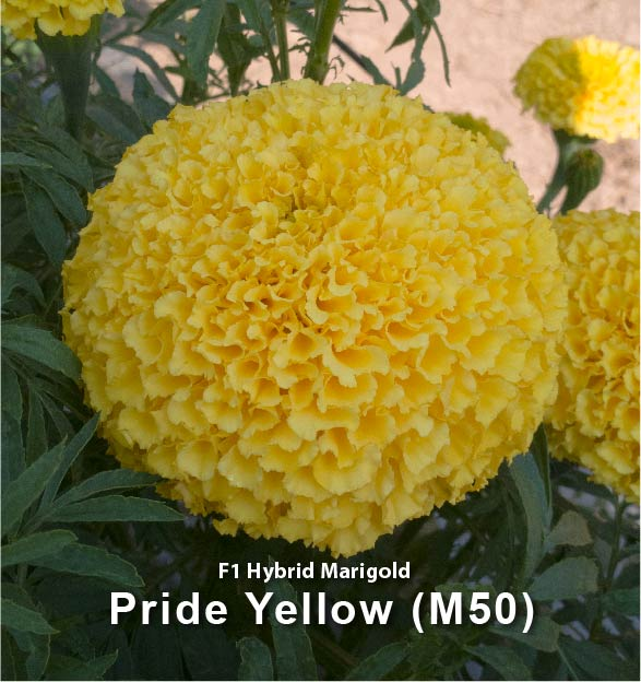 Pride Yellow