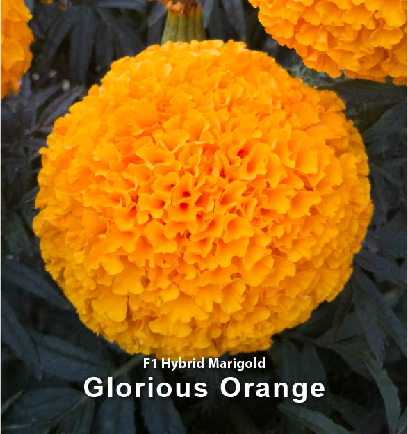 Glorious Orange