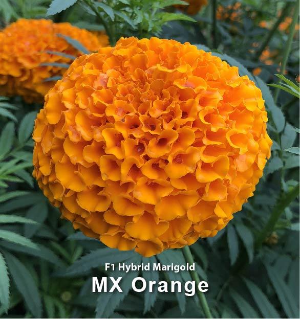 MX Orange