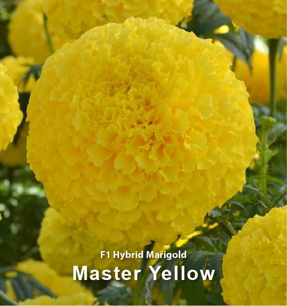 Master Yellow